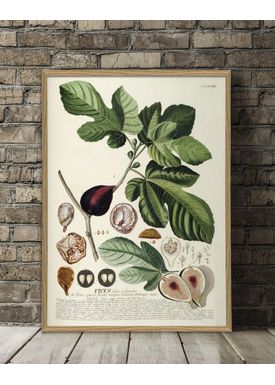 The Dybdahl Co - Poster - Ficus #3714 - Ficus