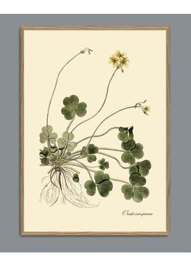 The Dybdahl Co - Poster - Oxalis Compressa #3110 - Oxalis
