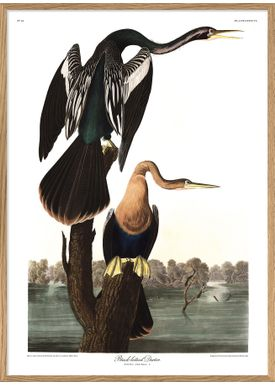 The Dybdahl Co - Poster - Black-bellied Darter #6528 - Darter