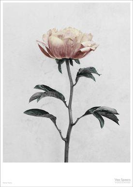 ViSSEVASSE - Poster - Vee Speers - Botanic Series - Paeonia
