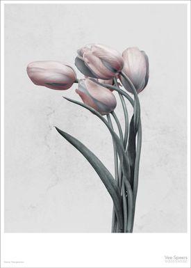 ViSSEVASSE - Poster - Vee Speers - Botanic Series - Tulipa Gesneriana